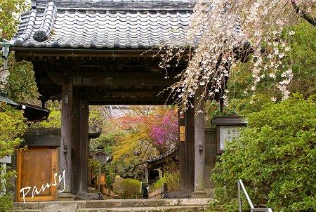 桜彩の山門・・安国論寺・・1