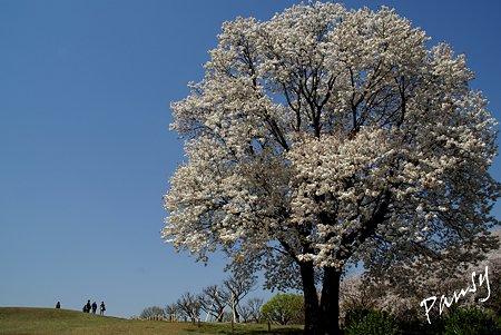 大きな大きな・・茶目山桜の樹・・