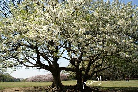 大きな桜の樹・・