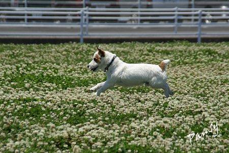 シロツメクサと・・白い犬と・・