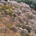 Photos: 吉野の山桜