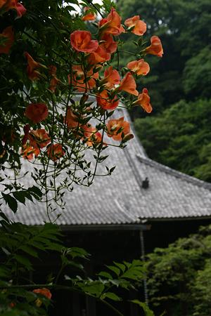 ノウゼンカズラ咲く、妙本寺!(100703)