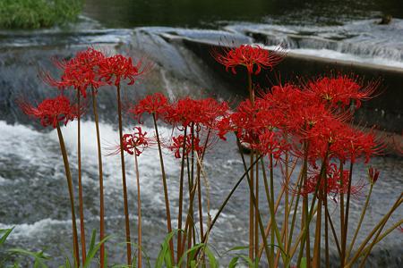 真赤なマンジュシャゲと水の流れ!(100929)