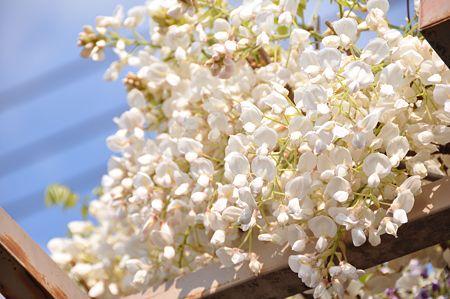 春日部の藤4