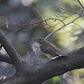 101107-2キビタキ幼鳥