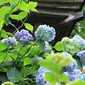 善光寺の紫陽花