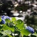 Photos: 紫陽花と渓流