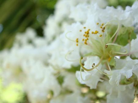 白い花木の接写撮影