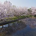 Photos: 青空に浮かぶ花びら
