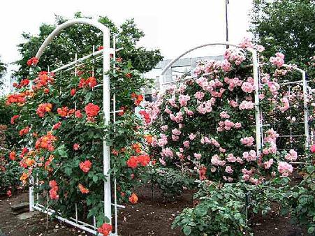 富士中央公園 薔薇園