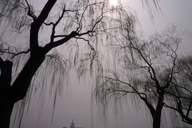 Photos: 北海公園春柳