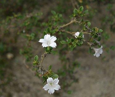 白丁花に。