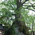 Photos: 太宰府の大木