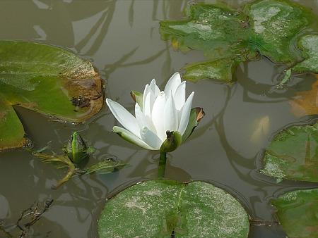 みやこ町豊津運動公園内の花菖蒲公園(8)ハスの花