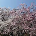 舞鶴公園の桜(6)ぼたん・しゃくやく園の枝垂れ桜