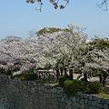 舞鶴公園の桜(13)'