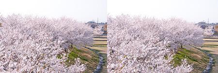 3D桜・平行法