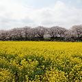 Photos: IMG_1476権現堂桜堤