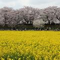 Photos: IMG_1475権現堂桜堤