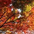 写真: 鶴仙渓 モミジ(5)