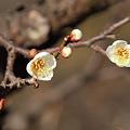Photos: 白加賀(食用の梅です)