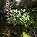 庭の雪割草と福寿草(1)