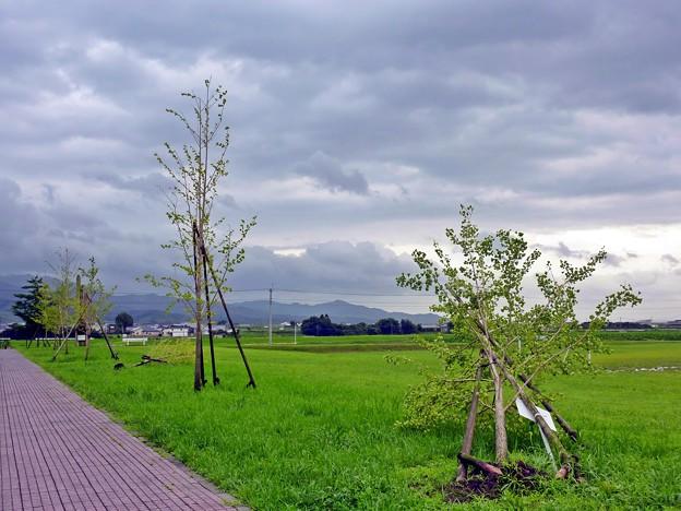台風6号で倒れた木