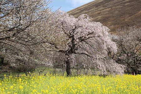 20110410桜の里03
