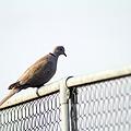 シラコバト(天然記念物 埼玉県鳥)