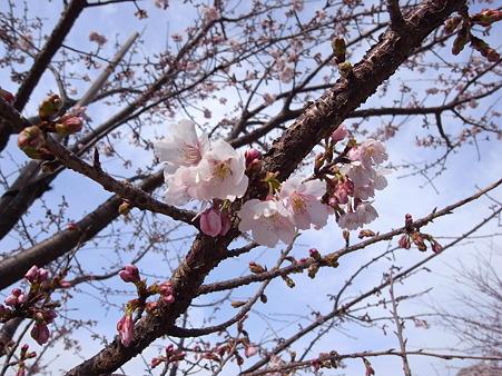 汐入公園の桜 2011-3-6 03
