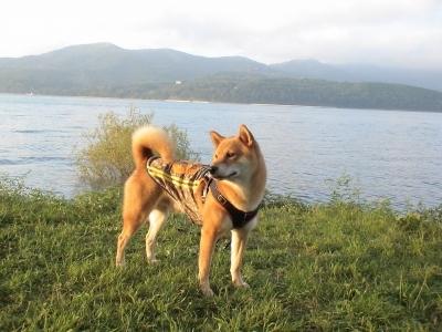 夕陽の柴犬