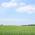 <荒川右岸*麦畑の孤独>