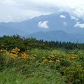マルバタケブキと八ヶ岳