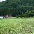 Photos: そば畑