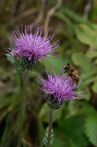 Photos: 蜂もくるノアザミ
