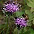 蜂もくるノアザミ