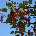 イイギリの実と葉